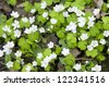 Wood Sorrel (Oxalis) flowers in spring, close-up - stock photo