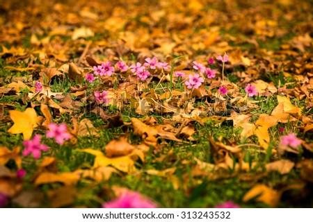 Wood sorrel (Oxalis rubra) is a genus of the family Oxalidaceae. - stock photo