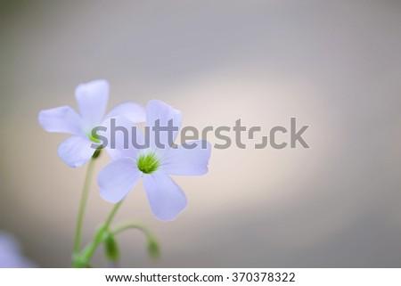 Wood sorrels flower  - stock photo