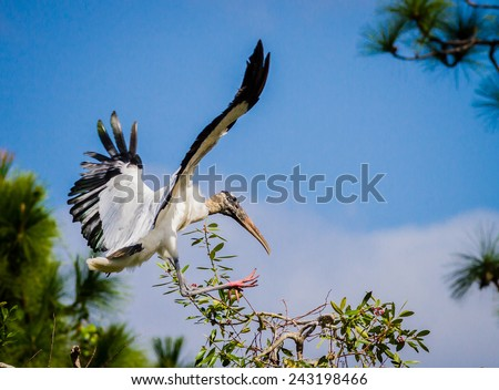Wood stork flying in everglades - stock photo