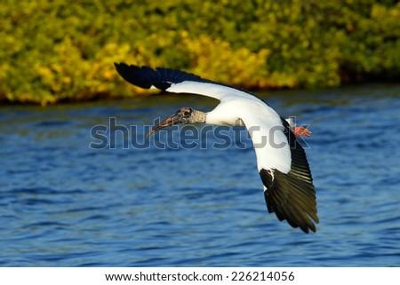 Wood stork (Mycteria americana) flying low above water - stock photo