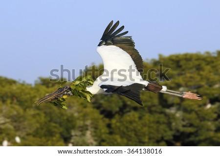 Wood stork (Mycteria americana) flying with nesting material - stock photo