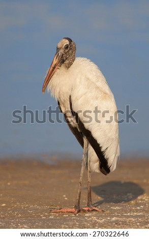 Wood Stork standing at the edge of an inlet in St. Augustine, FL - stock photo