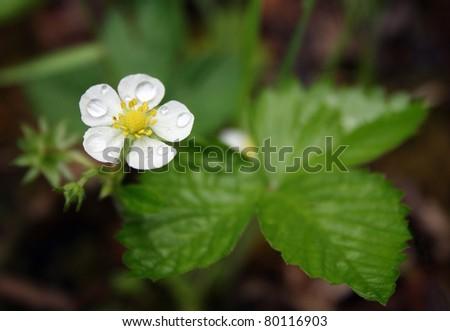 wood strawberry (Fragaria vesca) - stock photo