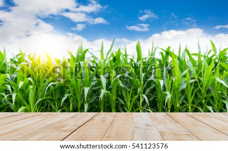 wood table top with corn farming and sunshine morning