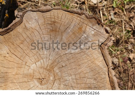 wood texture, using a slice of a cut tree in a forest. top view. warm colors. great detail