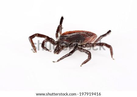 Wood tick (Ixodes ricinus) specimen - angled side view, isolated on white - stock photo