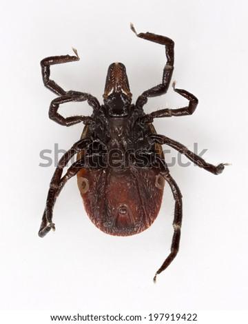 Wood tick (Ixodes ricinus) specimen - under view, isolated on white - stock photo
