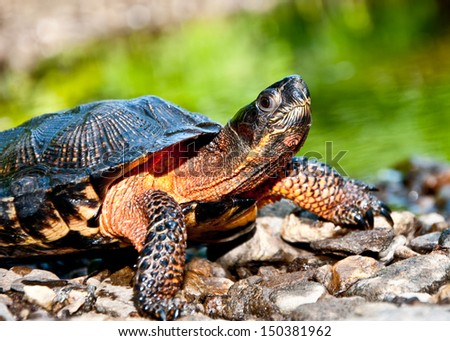 Wood Turtle - stock photo