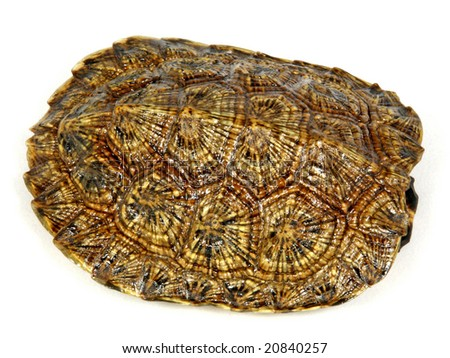 Wood Turtle (Glyptemys insculpta) shell - stock photo