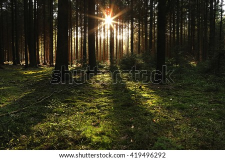 Wooded forest trees backlit by golden sunlight before sunset with sun rays pouring through trees on forest floor illuminating tree branches - stock photo