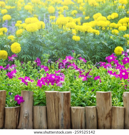 Wooden fence along the flower petunia purple, pink and yellow marigolds in the garden.