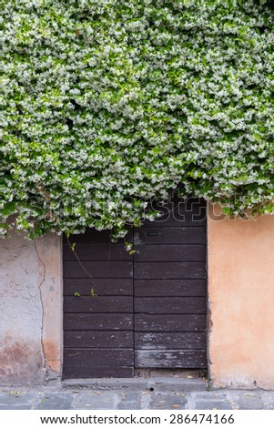 wooden old brown door covered by climbing jasmine full of white, flowers - stock photo