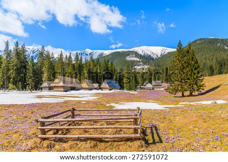 Wooden pen for holding sheep on meadow with blooming crocus flowers in Chocholowska valley, Tatra Mountains, Poland - stock photo