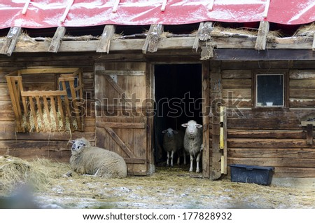 wooden stable with open door and sheeps