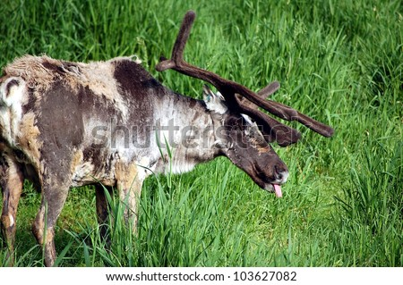 Woodland Caribou feeding in a grass field - stock photo