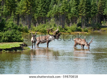 woodland caribou, including a bull and two cows in a natural river setting - stock photo