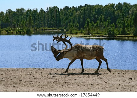 Woodland caribou walking near lake water. - stock photo
