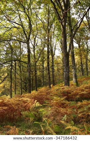 Woodland in England in the early autumn as the leaves and undergrowth change color. - stock photo
