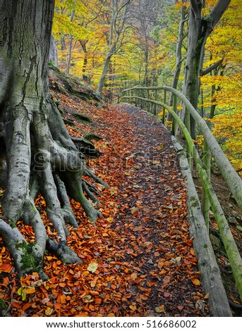 Woodland path in Autumn. Large tree roots of old Beech tree in Rectory Wood, Shropshire, UK.