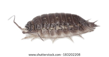 Woodlouse isolated on white background