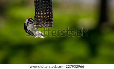 Woodpecker at backyard feeder - stock photo