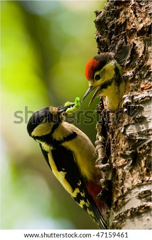 woodpecker give food to little - stock photo