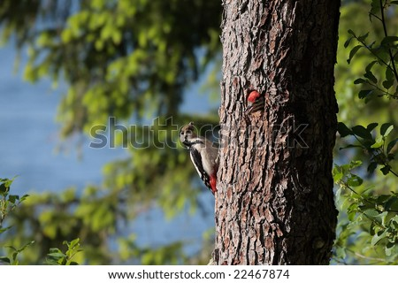 Woodpecker,national park Kemeri,Latvia
