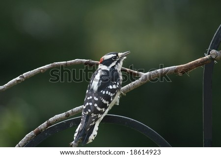 woodpecker on a branch which is on a bird feeder - stock photo