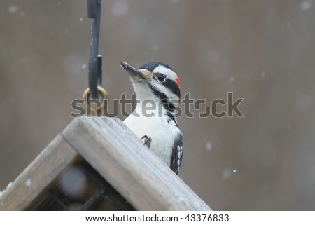 woodpecker waiting in the snowstorm for food - stock photo