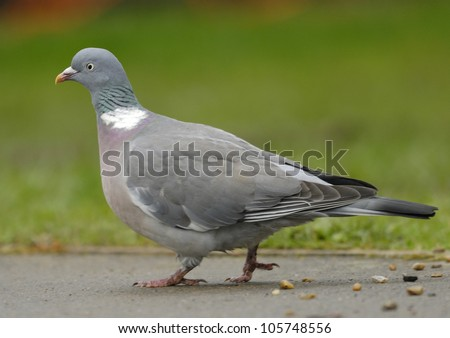 Woodpigeon in an English park - stock photo