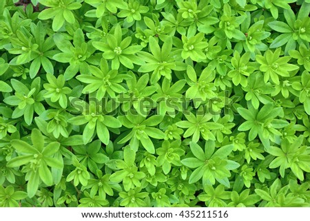 Woodruff leafs (galium odoratum) - stock photo