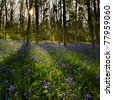 woods covered with a blanket of wild bluebells at sun set - stock photo
