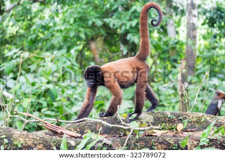 Woolly monkey in the Amazon rain forest near Iquitos, Peru - stock photo