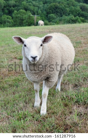 Woolly Sheep Standing in a Green Field - stock photo