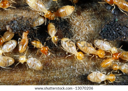 Worker and nasute termites on wood - stock photo