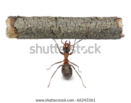 worker ant holding heavy log, isolated - stock photo