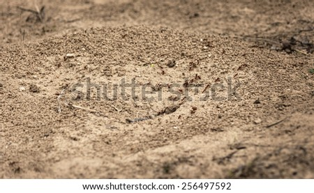 Worker ants walking in and out of their hole - stock photo