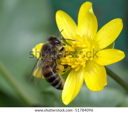 Worker bee collecting pollen on yellow flower - stock photo