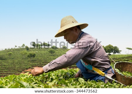 Worker collects tea on plantation in China - stock photo