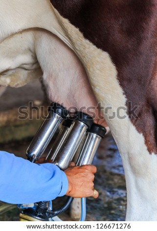 Worker connecting the milking machine to the udders of a cow - stock photo
