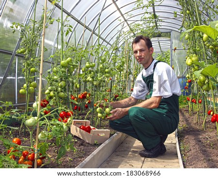 Worker harvests tomatoes in the greenhouse of transparent polycarbonate - stock photo