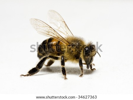Worker honey bee (apis) with pollen - stock photo