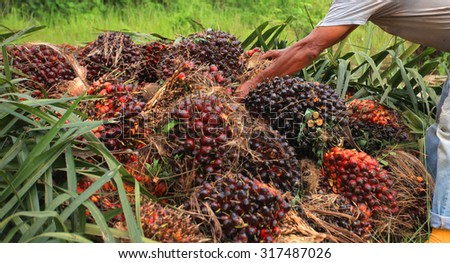 worker inspects palm oil fruit - stock photo