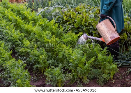 Worker is watering carrots in the  garden, woman cares about vegetables in the farmland,  organic agriculture, farming concept