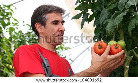 Worker Picking Tomatoes. Greenhouse produce. Food production. Tomato growing in greenhouse. - stock photo