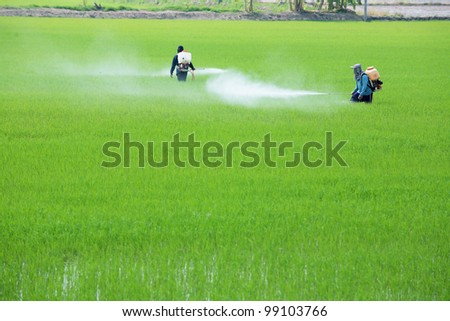 worker spraying pesticide in paddy field. - stock photo