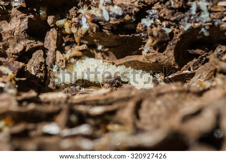 Worker termites and nasute on the decomposing wood. - stock photo