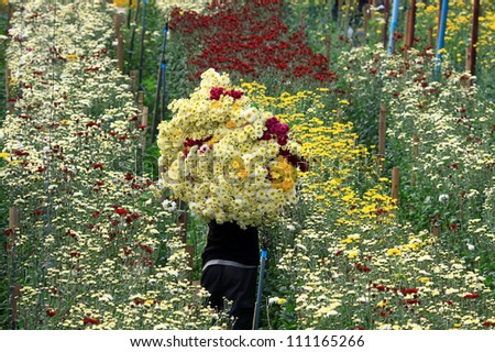 Workers cut flowers in the garden at Chiang Mai Thailand - stock photo