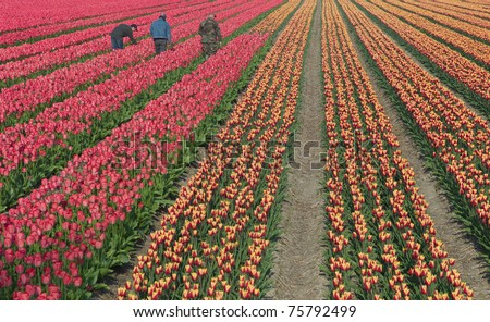 Workers on flower field of tulips - stock photo